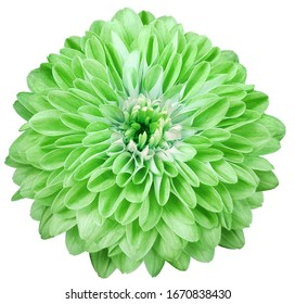 dahlia flower green. Flower isolated on a white background. No shadows with clipping path. Close-up. Nature.