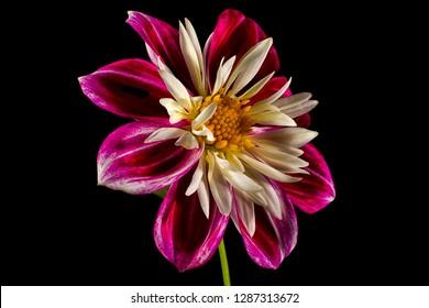 dahlia flower macro on black background