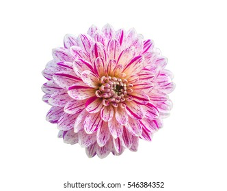 dahlia flower on a white background closeup