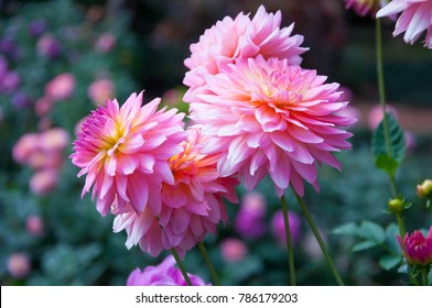 Dahlia flower Pink Dahlia flower. light pink flower. copy and space.