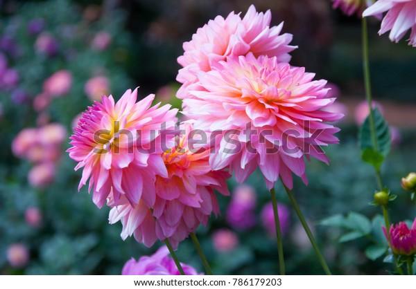 Dahlia flower Pink Dahlia flower. light pink flower. copy and space.