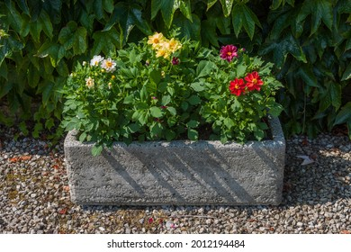 Dahlia flower plants growing in old stone planter