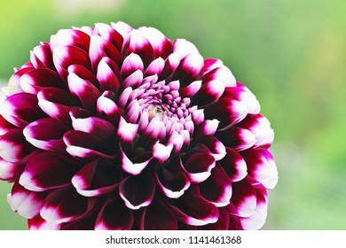 Dahlia flower purple white tipped Edinburgh hybrid, pom pom flowerhead against green background