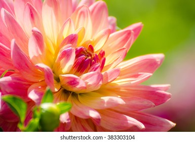 Dahlia flower, summer scene, macro, beautiful flora, close up petals, pink and yellow flower over green grass blurred background
