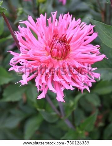 Dahlia Flower That Adorns Late Summer Stock Photo Edit Now