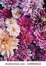 Dahlia flowers in full bloom