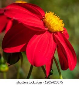 Dahlia (Dahlia), flowers of summer