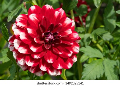 Dahlia (Dahlia), flowers of summer