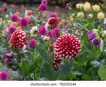 dahlia garden. dahlia garden with different types of colorful dahlias