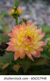 Dahlia garden flower with yellow petals