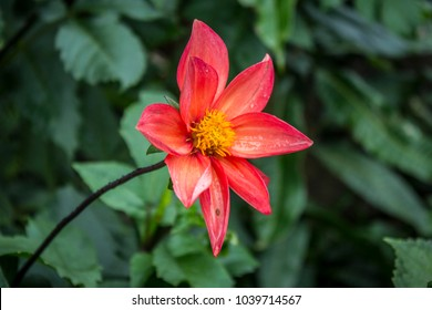 Dahlia is a genus of bushy, tuberous, herbaceous perennial plants native to Mexico. A member of the Asteraceae (or Compositae), dicotyledonous plants, related species include the sunflower, daisy.