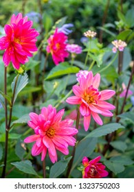 Dahlia is a genus of bushy, tuberous, herbaceous perennial plants