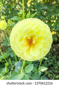 Dahlia is a genus of bushy, tuberous, perennial plants native to Mexico, Central America, and Colombia.