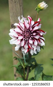 The dahlia (Dahlia), is a genus of flowering plants in the sunflower family (Asteraceae)