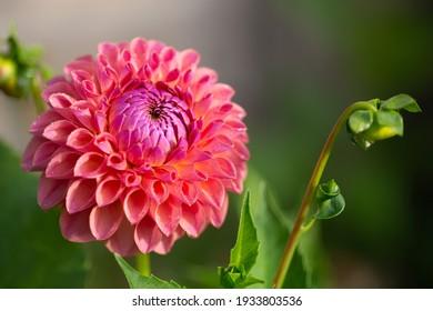 Dahlia jowey winnie in bloom and bud
