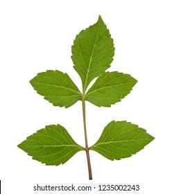 Dahlia leaf isolated on white background