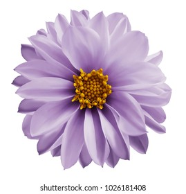 Dahlia  light violet flower  on a white isolated background with clipping path.  Closeup no shadows. Garden  flower. Nature.
