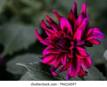 Dahlia, looks close to 'Prince Noir'. A ruffled, semi-cactus, dark burgundy dahlia with a nice defocused background.
