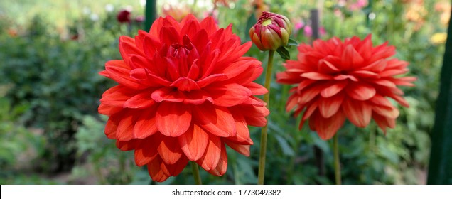 Dahlia lovely big flowers. Group dahlias. flowers dahlias with petals in various tones of pink color.