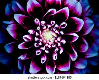 Dahlia macro in dark purple.