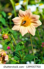 dahlia Mexican plant with a tuberous root from the family of daisies, grown for its brightly colored single or double flowers.