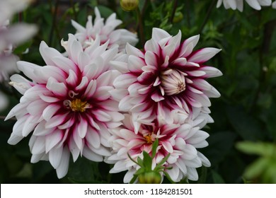 Dahlia. name Rebecca's World. Close up of two large white with purple towards the centre  flowers