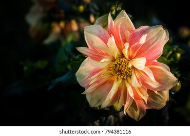 Dahlia named Apple Blossom, a Collerette dahlia  Large flat florets forming a single outer ring around a central disc and which may overlap a smaller circle of florets closer to the centre, which have
