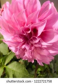 Dahlia 'Pink Petticoat'.Dahlia 'Berliner Kleene' is a shorter dahlia that is a profuse bloomer.Dahlia Flower Garden.