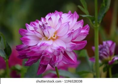 Dahlia pink and white garden