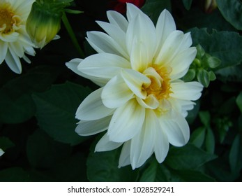 Widely cultivated images stock photos vectors shutterstock dahlia pinnata dahlia floweris a species in the genus dahlia family asteraceae with mightylinksfo
