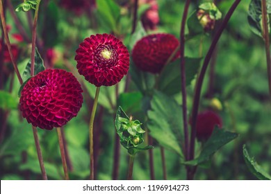 Dahlia pinnata flowers. Red Dahlia Vino flower classified as Pompon Dahlia. Lush red dahlia flowers in shape of ball. Bright natural floral background. Sunny day with sunlight falling on two buds.