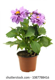 Dahlia plant in flower pot on a white background