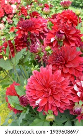 Dahlia plants in a house garden with lots of Red and white bicolour, fresh, healthy, colourful, and fragrant dahlia flowers. India spring season.