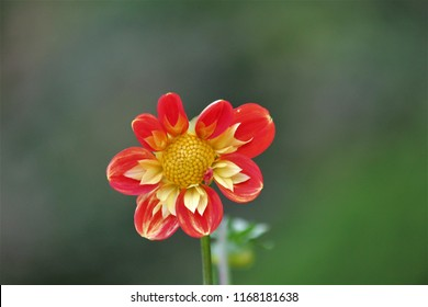 dahlia pooh flower