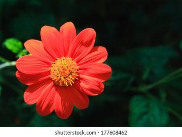 Dahlia red on a dark background