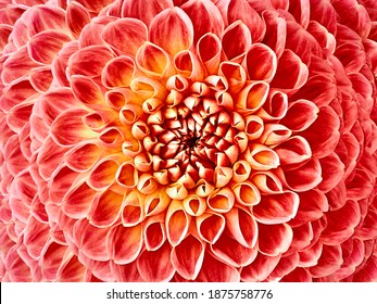Dahlia red-yellow flower.  Macro. Motley big flower. Background from a flower. Nature.