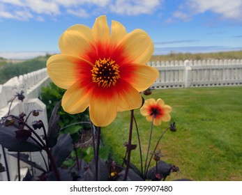 A dahlia in Seaside, Oregon. This is the last house before the beach.