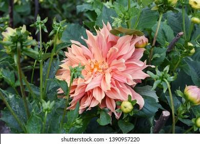 Dahlia, Sherwood Peach flowers in Kodaikanal Tamil Nadu India. Flowering  or garden plants