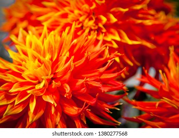"Dahlia "" Show n tell"" Large deep orange flower petals. New South Wales, Australia."