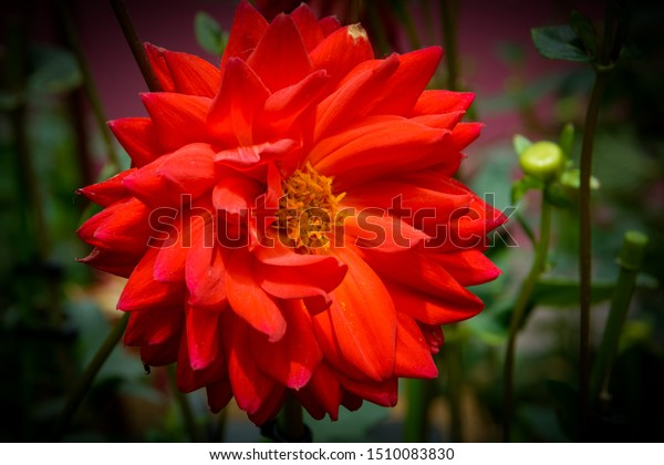 Dahlia These Colorful Spiky Daisylike Flowers Stock Photo Edit