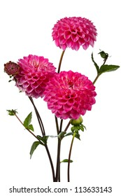 Dahlia. Three pink flowers on a white background
