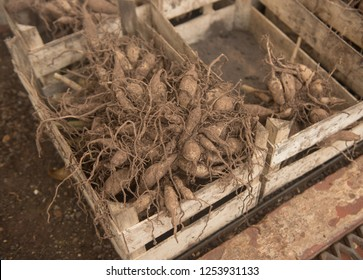 Dahlia Tubers Overwintering in a Wooden Crate in a Greenhouse in Rural Somerset, England, UK