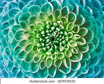 Dahlia turquoise-green flower.  Macro.  Nature.