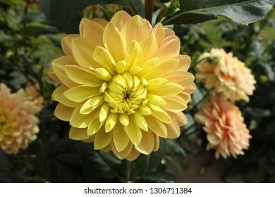 Dahlia yellow  flowers in garden.