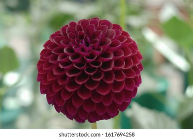 Dahlias in autumn and late summertime
