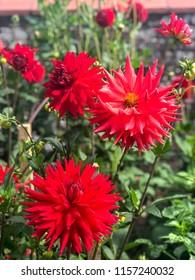dahlias in back yard garden