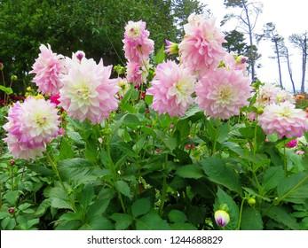 Dahlias blooming in the summer garden