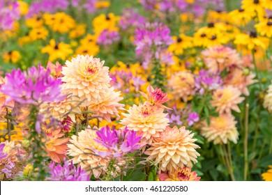 Dahlias in the garden
