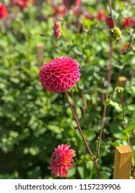 dahlias in lush english cottage back yard garden