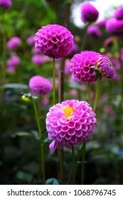 Dahlia's pink flower